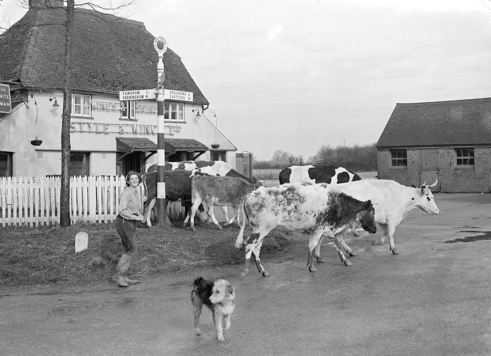 Cows at crossroad The White Swan in Ash, near Sevenoaks, Kent 1940